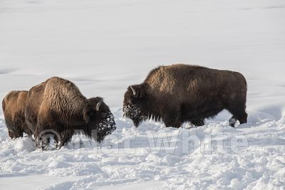 2-Bison_in_snow-1018_January_20_2018_Nat_White