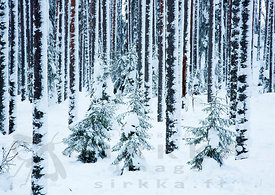 Snowy Forest in Seitseminen National Park