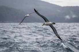 A couple of Indian Yellow-nosed Albatross (Thalassarche carteri), Tasman Penninsula, Tasmania, Australia; Landscape