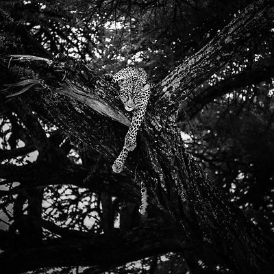 09311-Leopard_on_a_tree_Tanzania_2018_Laurent_Baheux