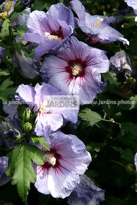 finest hibiscus syriacus oiseau bleu altha hibiscus de jardin mauve en arbre with hibiscus de. Black Bedroom Furniture Sets. Home Design Ideas