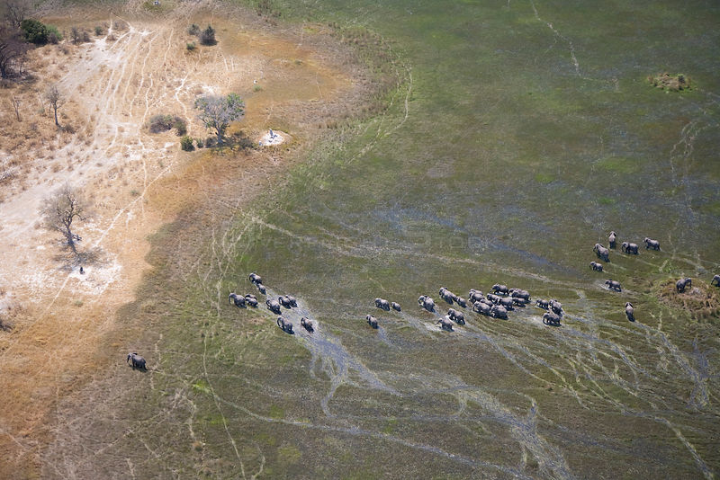 Aerial view of African elephants (Loxodonta africana)moving through wetland in the Okavango delta, Northern Botswana, taken on location for BBC Planet Earth series, October 2005