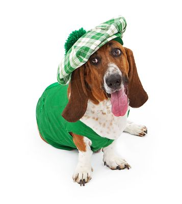 Funny Irish Basset Hound Dog
