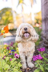 A small dog amongst the spring flowers panting