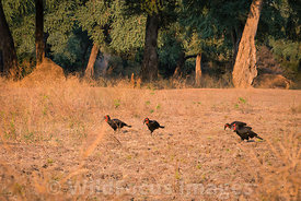 Southern Ground Hornbill (Bucorvus leadbeateri), Mana Pools National Park, Zimbabwe; Landscape