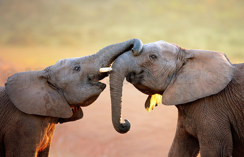 Two Elephants touching each other gently
