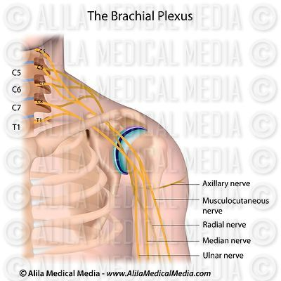 Brachial plexus, labeled.