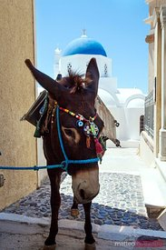 Typical mule in a small greek village Santorini Grrece