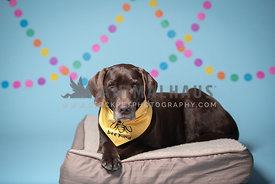 chocolate lab laying on bed wearing yellow Bee Kind bandana