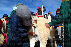 Checking the testicles of a male llama that has been selected to take part in competition, Curahuara de Carangas, Bolivia