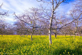 Walnut Orchard with Mustard #2