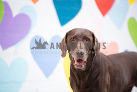 close up of adult chocolate lab standing in front of colorful wall of painted hearts