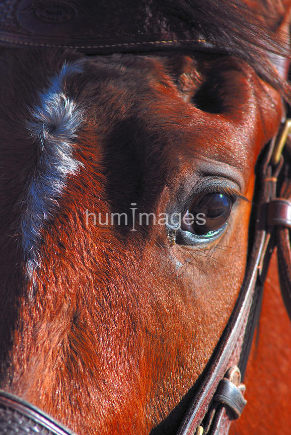 Close up of racing quarter horse (face only)