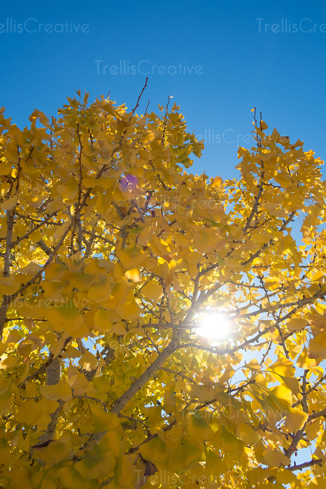 Vibrant yellow fall leaves on the ginko tree againt the blue sky