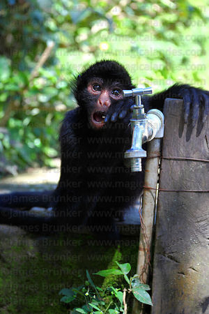 Young Peruvian spider monkey ( Ateles chamek ) playing with tap