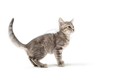 Cute Gray Tabby Kitten Standing Looking Side
