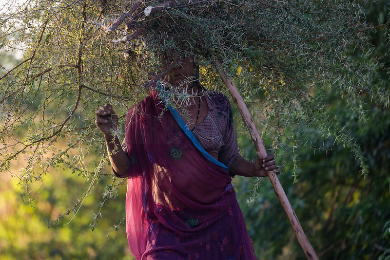 A Woman Carries a Bunch of Thorn Branches to be used as Fodder