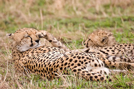 Cheetah family playing, Acinonyx jubatus, Masai Mara National Reserve, Kenya; Landscape
