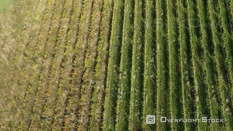 Vineyard in Summer in Burgundy France Drone Video