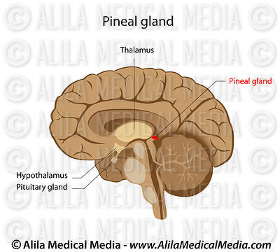 Pineal gland labeled drawing.