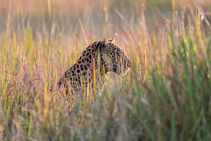 Portrait of a Leopard in Tall Grass at Sunset