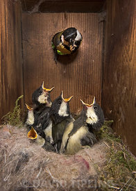 Great Tit, Parus major, feeding young around18 days old inside a nest box Norfolk May.  Young are ready to fledge.