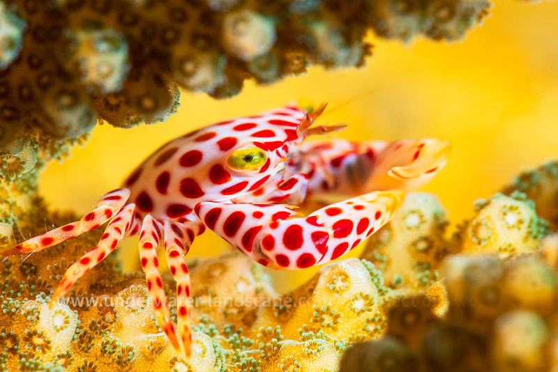 Red -Spotted Guard Crab