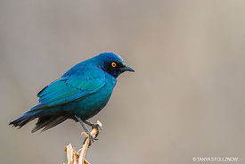 Cape Glossy Starling