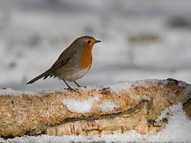 Robin Erithacus rubecula in snow covered garden Norfolk February