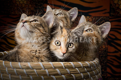 four kittens in a basket, three are looking up and one curious kitten is looking at the camera