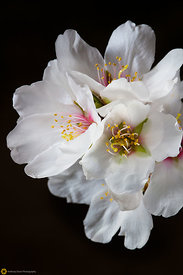 Close Up of Almond Blossoms #6