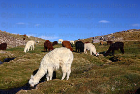 Herd of alpacas ( Vicugna pacos ) grazing on bofedal, Lauca National Park , Region XV , Chile