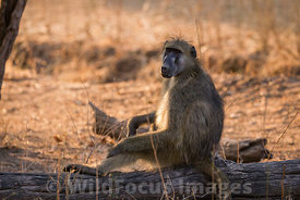 Chacma baboon (Papio ursinus) at Chisasiko Pool, Mana Pools National Park, Zimbabwe; Landscape