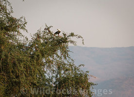 African Fish Eagle (Haliaeetus vocifer), Mana Pools National Park, Zimbabwe; Landscape