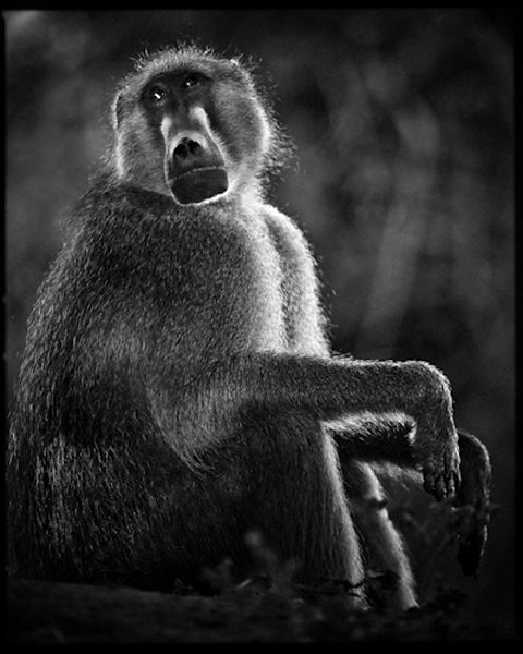 7503-Baboon_portrait_Laurent_Baheux
