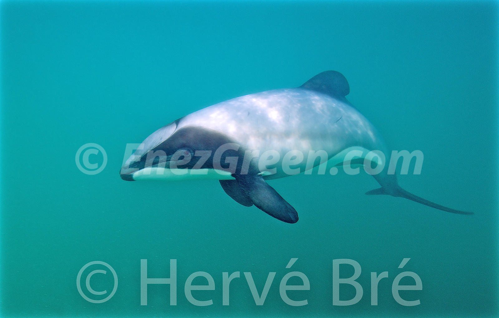 Hector's dolphin  in New-Zealand South Island