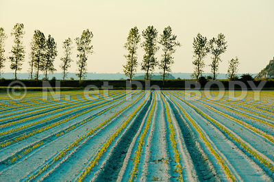FRANCE, MANCHE, CULTURE SALADES//France, Normandy, Manche, Salad growing