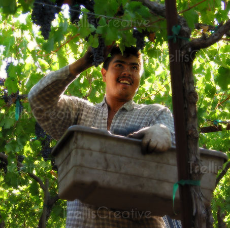 A happy vineyard worker harvests wine grapes