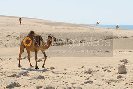 Camels by the Indian Ocean coast, Salalah, Oman