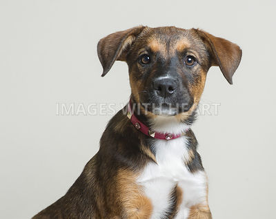 Head shot of puppy looking at camera