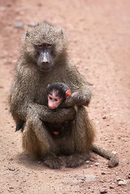 Female Yellow baboon (Aepyceros melampus) holding a baby, Lake Manyara National Park, Tanzania; Portrait