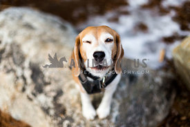beagle howls with one one open
