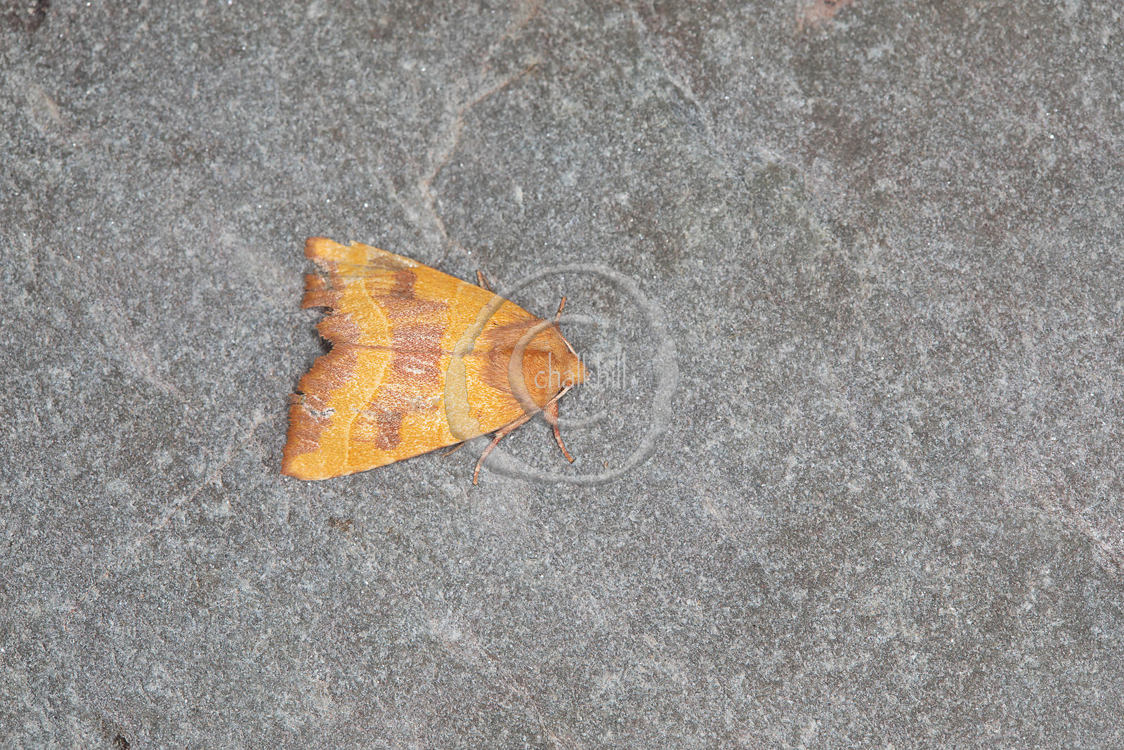 [Atethmia centrago [73.219] Centre-barred Sallow]-[GBR-Flatford Mill]