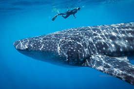 London-based French woman, Sophie Fauchier snorkeling above one of the larger whale sharks, Isla Mujeres, Mexico