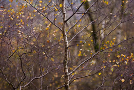 Elegant birch tree padley