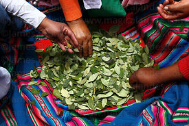 People chewing coca leaves ( Erythroxylum coca ) at an event to celebrate Bolivia rejoining the 1961 UN Convention , La Paz , Bolivia