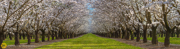 Panorama of Almond Orchards #3