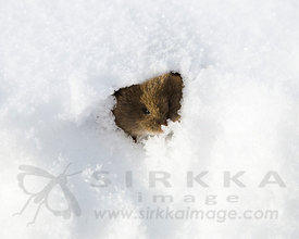 Short-tailed vole peeks from Snow