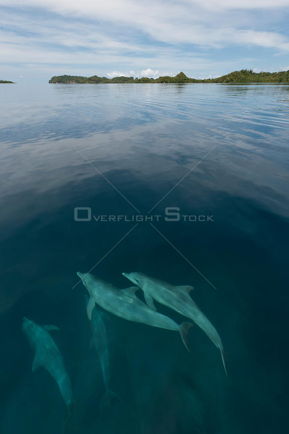 Pod of Indo-Pacific bottlenose dolphins (Tursiops aduncus) just below sea surface in flat calm waters. Raja Ampat, West Papua, Indonesia, February 2010