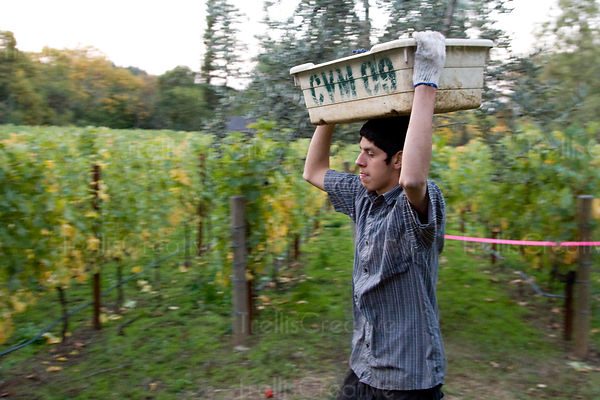 Vineyard worker carries a bin of grapes on his head